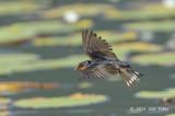 Swallow, Welcome @ Cattana Wetlands