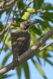 Friarbird, Helmeted @ Cattana Wetlands