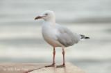 Gull, Silver @ Esplanade, Cairns