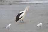 Pelican, Australian @ Esplanade, Cairns