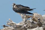 Frigatebird, Lesser @ Michaelmas Cay