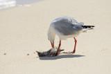 Gull, Silver @ Michaelmas Cay