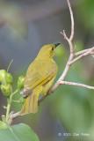 Honeyeater, Yellow @ Cairns cemetery