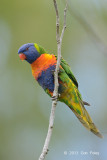 Lorikeet, Rainbow @ Cairns cemetery