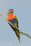 Lorikeet, Rainbow @ Cairns cemetery