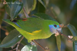 Parrot, Double-eyed (female) @ Lake Eacham