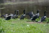 Cormorant, Little Black @ Centenary Lakes, Cairns