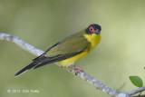 Figbird, Australian (male) @ Cairns cemetery