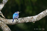 Kingfisher, Forest @ Stewart Creek Rd