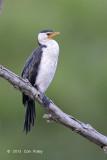 Cormorant, Little Pied