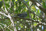 Cicadabird (male) @ Stewart Creek Rd