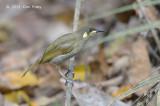 Honeyeater, Yellow-spotted @ Kingfisher Park