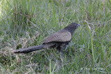 Coucal, Pheasant @ Stewark Creek Rd, Daintree