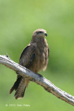 Kite, Whistling @ Daintree River