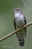 Cuckoo, Indian (adult male) @ Bidadari