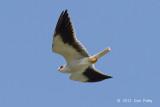 Kite, Black-winged @ Halus
