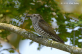 Cuckoo, Little Bronze (female) @ Halus