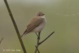 Flycatcher, Taiga @ Chiang Saen Lake