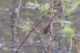 Warbler, Dusky @ Nam Kham Nature Reserve