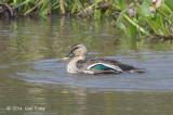 Duck, Spot-billed @ Lake Chiang Saen