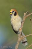 Parrotbill, Spot-breasted @ Doi Lang