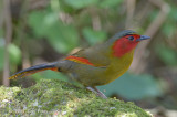 Liocichla, Scarlet-faced @ Doi Lang