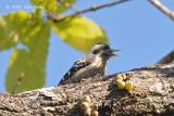 Woodpecker, Grey-capped Pygmy @ Doi Lang
