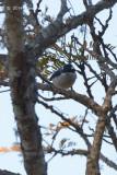 Shrike-Babbler, Blyth's (male) @ Doi Lang