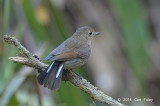 Robin, White-tailed (female) @ Doi Lang