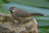 Laughingthrush, White-browed @ Doi Lang