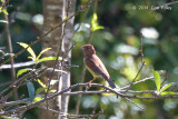 Bunting, Chestnut (male) @ Ban Luang