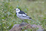Wagtail, White (male - non breeding) @ Ban Luang