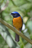Niltava, Rufous-bellied (male) @ King's Project