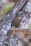 Thrush, Chestnut-bellied Rock (female) @ Ban Luang