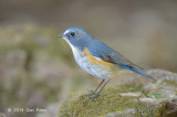 Bluetail, Red-flanked (male) @ Doi Lang