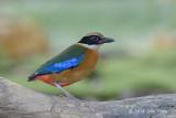 Pitta, Blue-winged @ Saddle Club