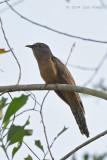 Cuckoo, Rusty-breasted @ Halus