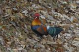 Junglefowl, Red (male) @ Pulau Ubin