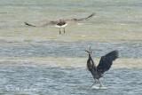 Heron, Great-billed @ Chek Jawa