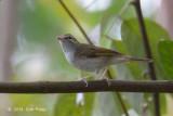 Warbler, Sakhalin Leaf @ Bukit Timah
