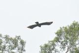 Eagle, Philippine Serpent @ PICOP