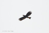 Hornbill, Mindanao Tarictic (female) @ PICOP