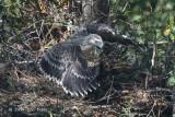 Eagle, Philippine