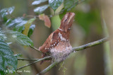 Frogmouth, Philippine @ PICOP