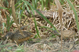 Buttonquail, Barred @ Halus
