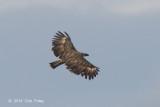 Eagle, Philippine (adult) @ Mt Apo