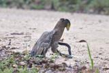 Eagle, Crested Serpent & cobra