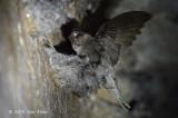 Swiftlet, Black-Nest