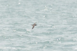 Shearwater, Short-tailed @ Singapore Straits