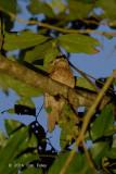 Frogmouth, Javan